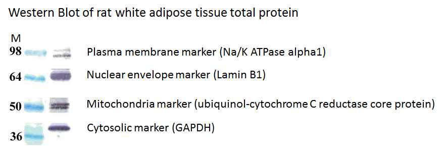 Total Protein Extraction Kit for Adipose Tissues Adipocytes