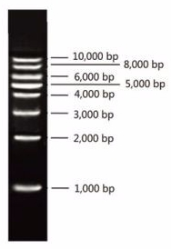 1 kb DNA Ladder 2.0, 0.5 kb ~ 10 kb DNA ladder