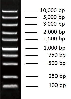 Universal DNA Marker, 100 bp ~ 10,000 bp DNA ladder