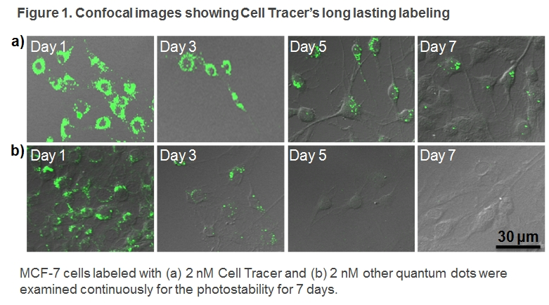 Long-term Cell Tracer, long lasting labeling